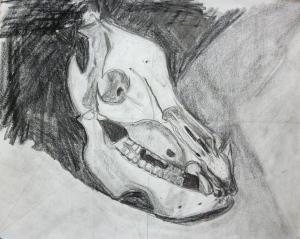 Tonal drawing of Javelina skull by Nancy.