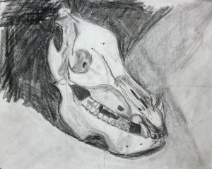 Tonal drawing of Javelina skull by Nancy.