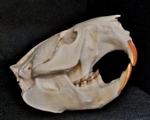 Beaver skull.