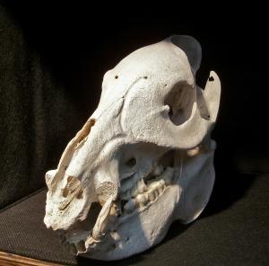 Javelina skull.